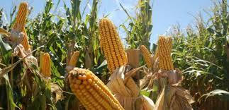 SVIAA: Venezuela ha registrado una importante disminución en la superficie sembrada de cereales